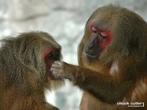 family red nature animal thailand monkey nikon colorful asia d70 bokeh wildlife daughter mother explore mai monkeys chiangmai chiang vosplusbellesphotos chuckcutler ☆thepowerofnow☆
