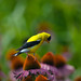 Respectful Goldfinch