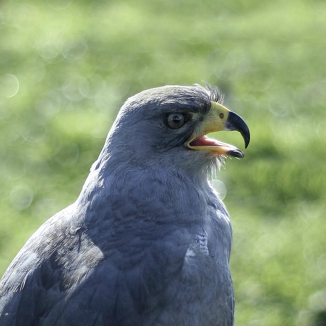 Grey hawk probably a grey hawk buteo nitidus en for Gray hawk