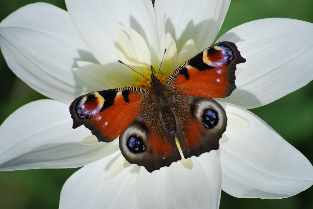 European Peacock Butterfly - Photo (c) epicnom, some rights reserved (CC BY-NC)