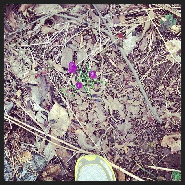 Crocus! #foundwhilerunning #signsofspring cc: @pennyshima