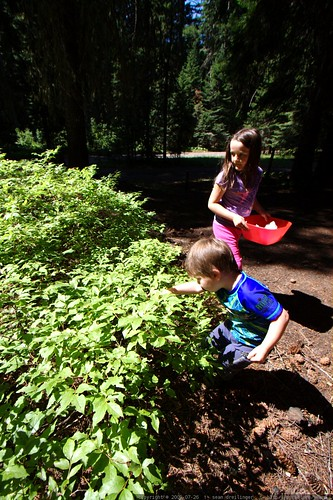 teagan and sequoia picking huckleberries at our campsite    MG 9969