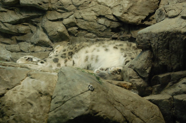 Snow Leopard Camouflage | Explore MrGuilt's photos on ...