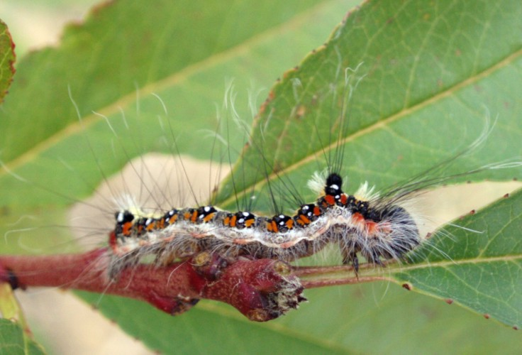 Acronicta tridens 4013743118_c51d714a42_o