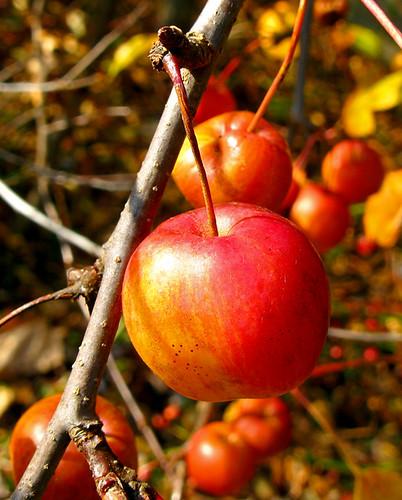 Fall color--Crab Apples