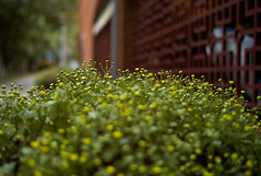Chrysanthemum 2009