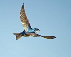 animal, perching bird, wing, blue, swallow, bird, flight,