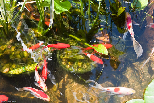 Gwapa ponds and container water gardening guitarfish for Best pond plants for goldfish