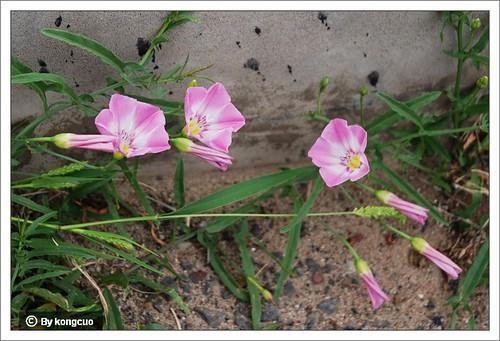 内蒙古植物照片-旋花科旋花属田旋花
