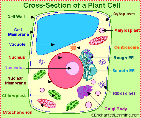 Plant cell labels | Flickr - Photo Sharing!