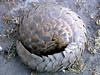 pangolins - Photo (c) David Bygott, some rights reserved (CC BY-NC-SA)