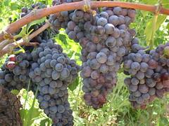 Grappolo d'uva Gaglioppo in Calabria