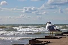 Sea Gull Watching Waves
