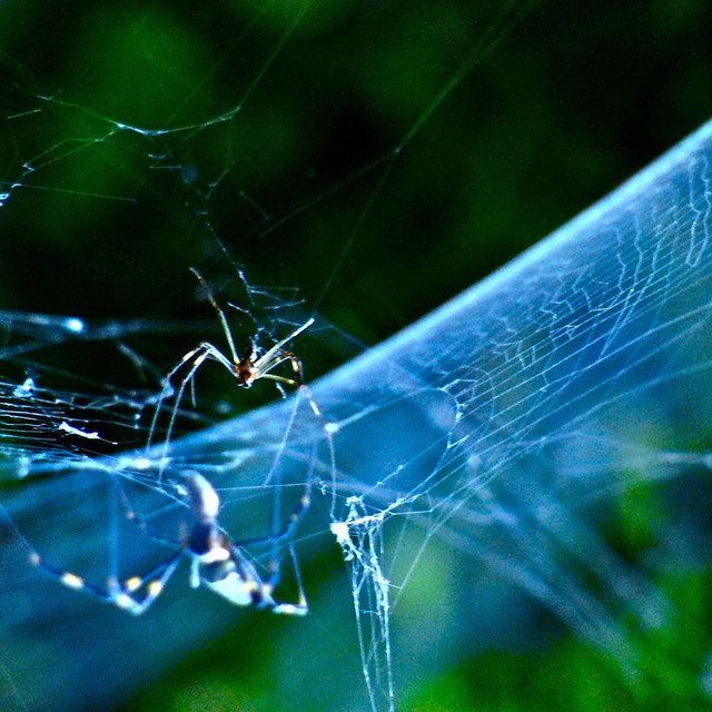 hyperbola web by the golden silk spider (3/3) | Flickr ...