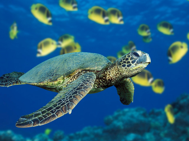 A hawksbill sea turtle swims past a school of Raccoon Butterflyfish near Hawaii.