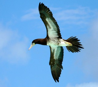 Brown Booby from Guana Island