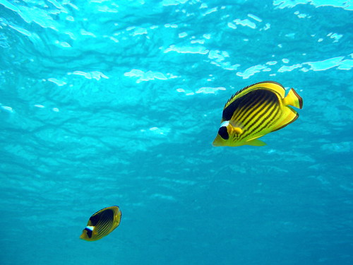 Pair of Yellow Bannerfish in blue water