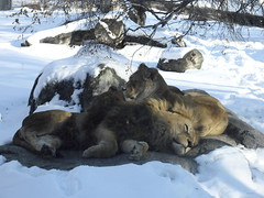 Lion lying down in the sun