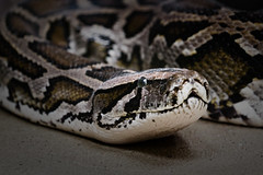 animal, serpent, eastern diamondback rattlesnake, snake, boa constrictor, reptile, hognose snake, fauna, viper, close-up, rattlesnake, scaled reptile,