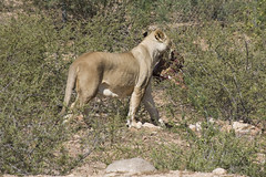 Lioness with her meat
