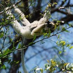 Verreaux's Sifaka in a precarious pose