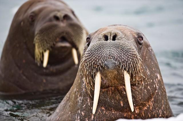 Walrus in Torrelnesset, Svalbard