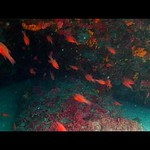 Cardinal Fish / Apogon imberbis on Vimeo by Aziz Saltık