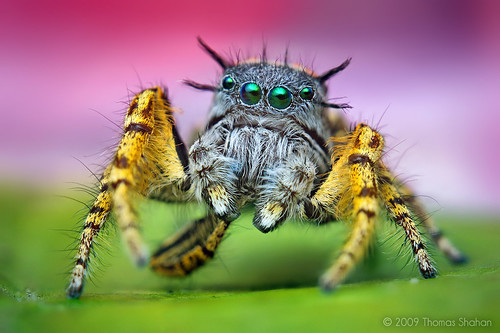 Adult Male Phidippus mystaceus Jumping Spider (With Video!)