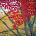 Red Japanese Maple Leaves In November