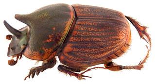 Onthophagus sagittarius Fabricius, 1775 female