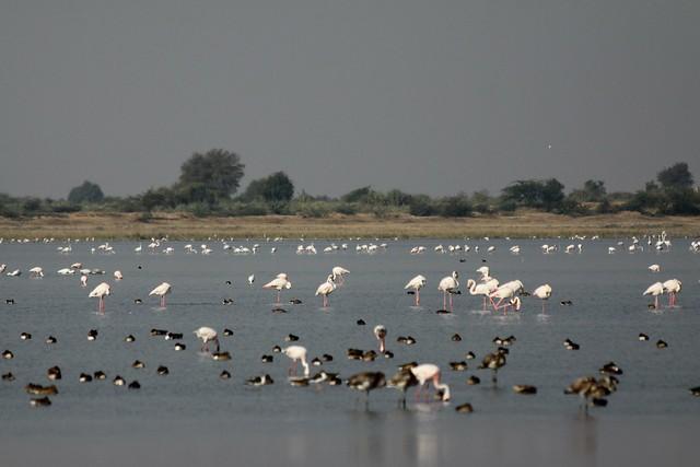 flamingos in india