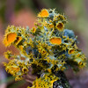 gold-eye lichen - Photo (c) Ken-ichi Ueda, some rights reserved (CC BY-NC-SA)