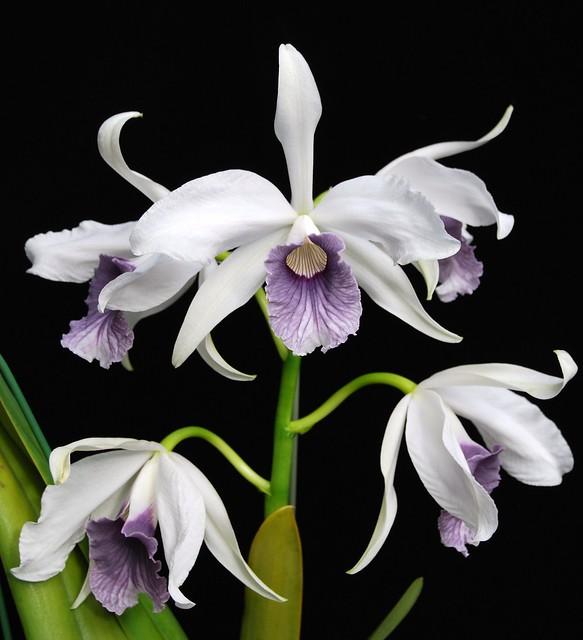 Laelia purpurata var. werkhauseri x sib