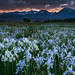 Wild Iris and Eastern Sierra Sunset by Nitschke Photography