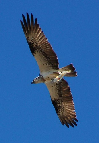Osprey or fish hawk flickr photo sharing for Fish hawk bird