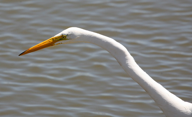 Egret - Daddy Long Neck | Flickr - Photo Sharing!