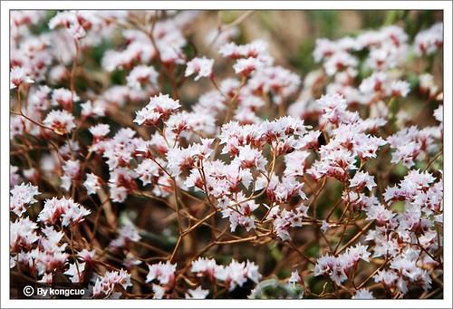 内蒙古植物照片-白花丹科补血草属二色补血草=干枝梅