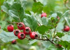 shrub(0.0), berry(0.0), acerola(0.0), flower(0.0), rosa canina(0.0), crataegus pinnatifida(0.0), branch(1.0), plant(1.0), produce(1.0), fruit(1.0), food(1.0), rose hip(1.0), hawthorn(1.0),