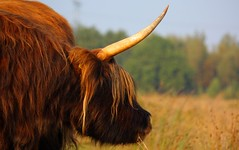 cattle-like mammal, animal, mane, bull, grass, mammal, horn, grazing, fauna, close-up, meadow, cattle, yak, pasture, wildlife,