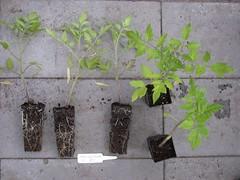 Tomato-5MartinosRoma-8928