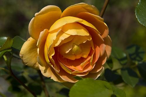 orange flower rose grün blume knospe rosenknospe pataustin kupfer