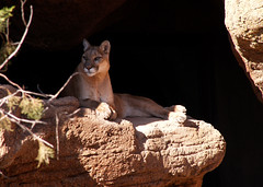 cougar, animal, mammal, fauna, cat-like mammal, wildlife,