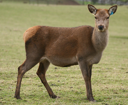 Red Deer doe @ Culzean