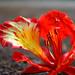 Fiery Red by akshay1188