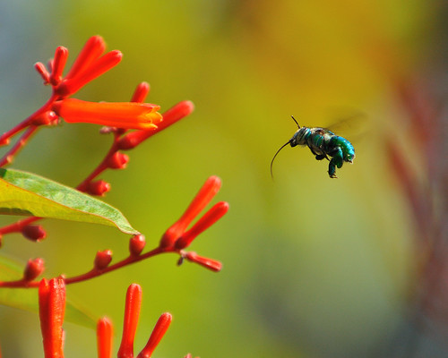 flowers orchid green colors insect inflight bright bee greenorchidbee euglossaviridissim