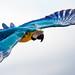 Blue-and-yellow macaw at Les Géants du Ciel by E01