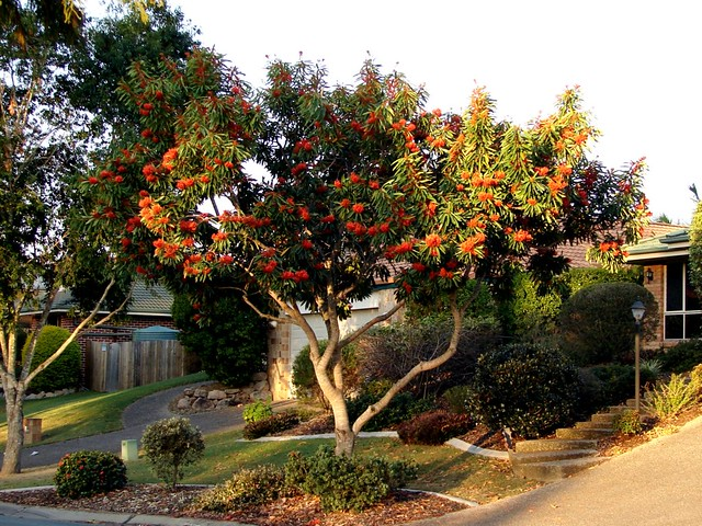 Queensland waratah tree in the front garden flickr for Landscape gardeners brisbane
