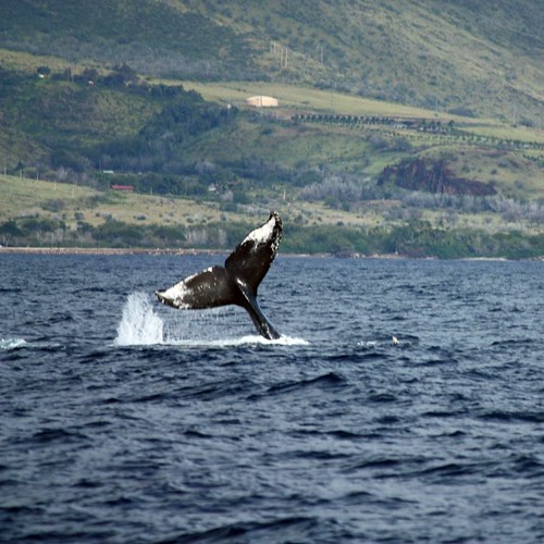 A friendly whale says Aloha to onlookers.