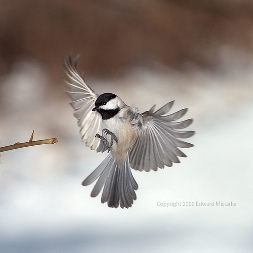 Carolina Chickadee flying and landing