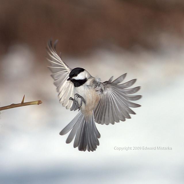 Carolina Chickadee flying and landing   Flickr - Photo ...